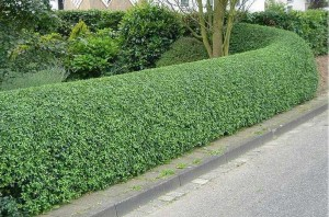 hedge-trimming1